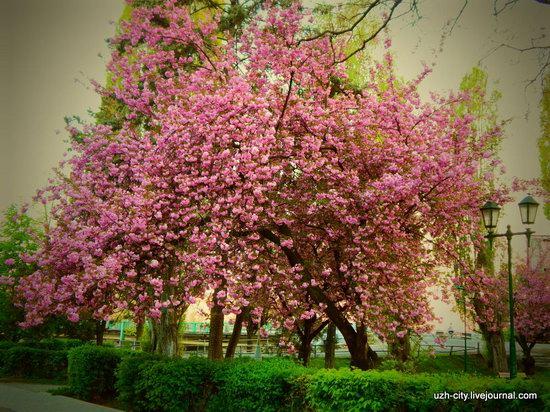 Blooming Spring in Uzhhorod, Ukraine, photo 1