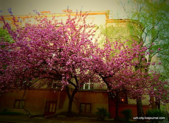 Blooming Spring in Uzhhorod, Ukraine, photo 13