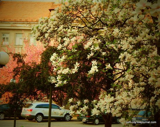 Blooming Spring in Uzhhorod, Ukraine, photo 14