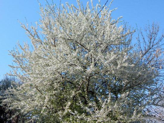 Blooming Spring in Uzhhorod, Ukraine, photo 25