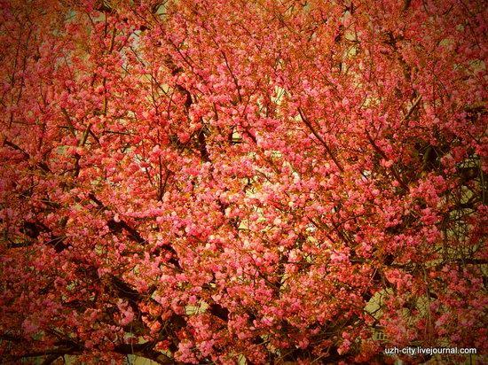 Blooming Spring in Uzhhorod, Ukraine, photo 9