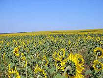 Sunflower field in the Cherkasy region