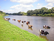 Cows in the Chernihiv region