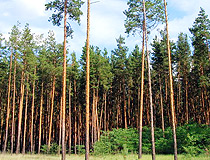Pine forest in the Dnipropetrovsk region