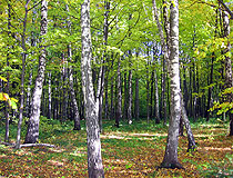 Birch forest in the Ivano-Frankivsk province