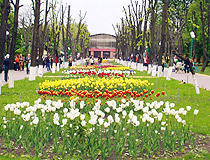 Tulips blooming in Kropyvnytskyi